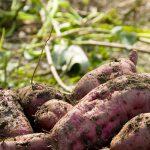 国産サツマイモから油溶性抗酸化成分「植物リポフェノール」の実用化に成功