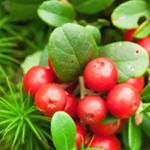 スーパーフード「コケモモ」から7種の植物性アルブチンを抽出 美白だけじゃない!エイジングケア化粧品原料を開発