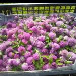 赤詰草の花イソフラボン