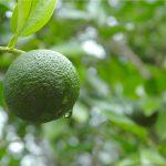 高知県四万十市で栽培されている幻の柑橘『四万十ぶしゅかん』から、柑橘類で初の高性能なエイジングケア化粧品原料を開発