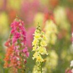 国産食用花であるキンギョソウから、心理的ストレスによる乾燥肌を特異的にケアする新原料を開発