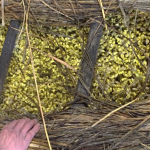 山形県小野川温泉の伝統冬野菜「温泉豆もやし」から、 女性ホルモン様作用の期待できる活性型イソフラボン原料を開発